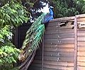 Peacock at Robin Hill - geograph.org.uk - 1143526.jpg