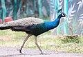 Peacock from Parambikulam T R (4).jpg