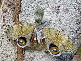 Fulgora - Image: Peanut Bug (Fulgora laternaria) (6766673085)