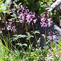 Pedicularis chamissonis var. japonica.JPG