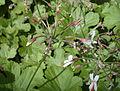 Pelargonium reliquifolium 20070810-1350-194A.jpg