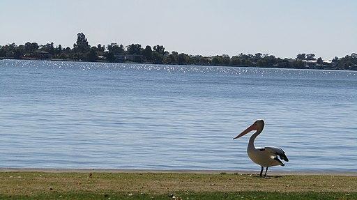 Pelican at Yarrawonga