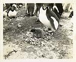 Penguins in Antarctica (5243256571).jpg