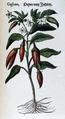 Peper van Indien 677 Dodoens 1554.png