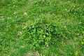 Peppermint flowers.jpg