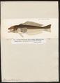 Percis nycthemera - 1700-1880 - Print - Iconographia Zoologica - Special Collections University of Amsterdam - UBA01 IZ13200057.tif