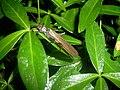 Perlodes species Bartiebert.jpg