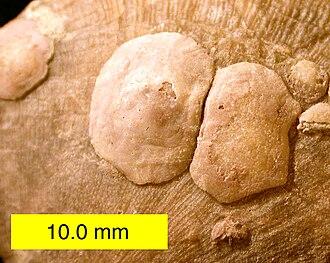 Craniidae - Petrocrania brachiopods attached to a strophomenid brachiopod; Upper Ordovician of southeastern Indiana.