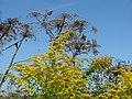 Pflanzen der Kiesgrube,Goldrute und Riesenbärlauch - panoramio.jpg