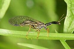 Phaeostigma notata - Raphidie - Mouche serpent.jpg