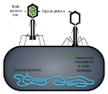 Phage injecting its genome into bacteria-es.png