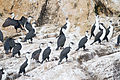 Phalacrocorax fuscescens roost - Hippolyte Rock.jpg