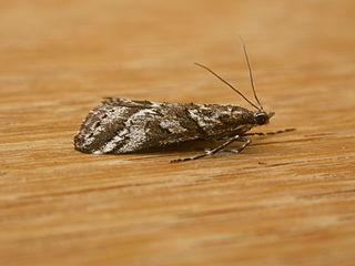 <i>Phanomorpha</i> Genus of moths