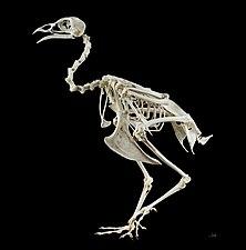 Phasianus colchicus MHNT Skeleton.jpg