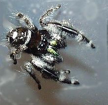Phidippus workmania a species named for Workman Phidippus workmani rampant.jpg