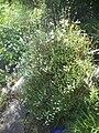 Philadelphus microphyllus 9.jpg