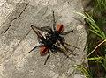 Philaeus chrysops podgorje 01.jpg