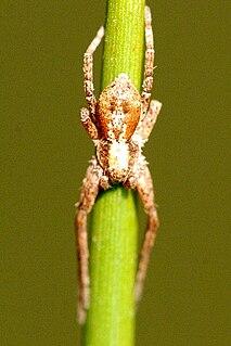 <i>Tmarus</i> genus of arachnids