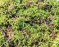 Phlox subulata in La Jaysinia.jpg