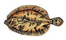 Phrynorhombus norvegicus.jpg