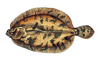 Norwegian topknot species of fish