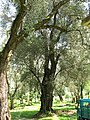 Piana Gioia Tauro - Ulivo secolare04.jpg