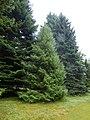 Picea brachytyla Scone palace 01.jpg