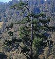Picea morrisonicola Zilupe.jpg