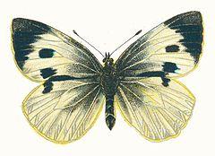 240px pieris brassicae femelle par nemos
