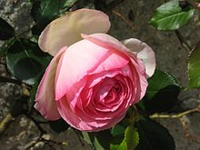 a496e7fbc64 Rose (fleur) — Wikipédia