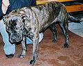 Pies z majorki 32.jpg