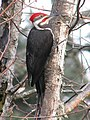 Pileated Woodpecker in a Tree.jpg