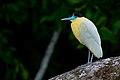 Pilherodius pileatus Capped Heron.jpg