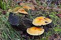 Pilz im Forst Rundshorn IMG Forst Rundshorn IMG 1449.jpg