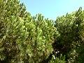 Pine @Ayvalık - panoramio.jpg