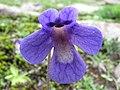 Pinguicula balcanica flower.JPG