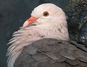 Pink pigeon - Close-up of head