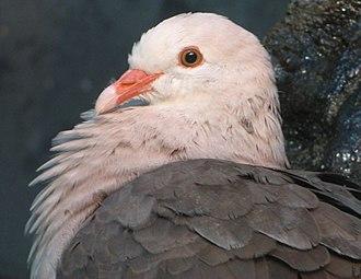 Wildlife of Mauritius - Pink pigeon (Columba mayeri)