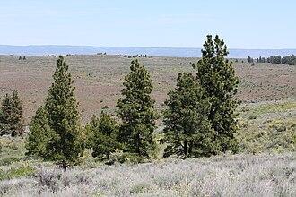 Columbia Plateau (ecoregion) - Arrowleaf Balsamroot (Balsamorhiza sagittata), Antelope Bitterbrush (Purshia tridentata) and scattered Ponderosa Pine grow in the Yakima Folds (ecoregion 10g)
