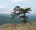 Pinus pungens Blue Ridge Parkway.jpg