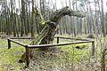 Pinus silvestris, Sosna Krasińskiego, Wierzenica (2).JPG