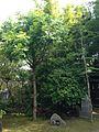 Pistacia chinensis in Nogi Shrine in Chofu, Shimonoseki, Yamaguchi.jpg