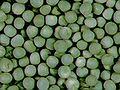 Pisum sativum green.jpg