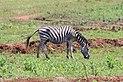 Plains zebra in Mlilwane Wildlife Sanctuary 02.jpg