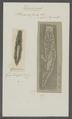 Planaria fusca - - Print - Iconographia Zoologica - Special Collections University of Amsterdam - UBAINV0274 105 09 0031.tif