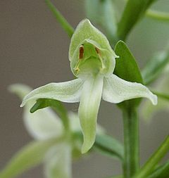 Platanthera chlorantha flower 030603.jpg