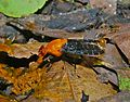 Platystomatid Fly (Peltacanthina sp.) (6930766314).jpg