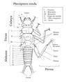Plecoptera Ninfa.png
