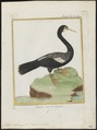 Plotus anhinga - 1700-1880 - Print - Iconographia Zoologica - Special Collections University of Amsterdam - UBA01 IZ18000019.tif