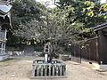 "Plum tree ""Tobiume"" in Fukae Shrine.jpg"